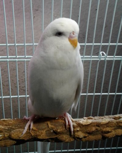 Budgerigar Birds for sale in San Diego, CA, USA. price -USD