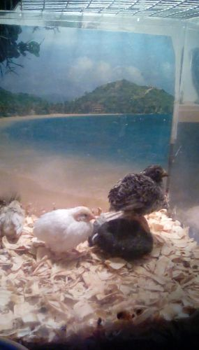 Buttonquail Birds for sale in Deltona, FL, USA. price 6USD