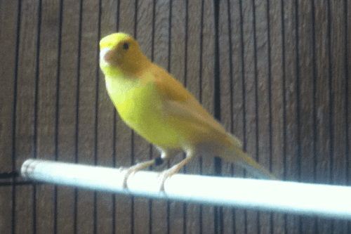 Canary Birds for sale in Chattanooga, TN, USA. price -USD