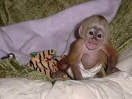Capuchins Monkey Animals for sale in Atlanta, GA, USA. price -USD