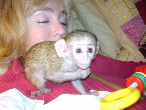 Capuchins Monkey Animals for sale in Austin, TX 73301, USA. price 300USD