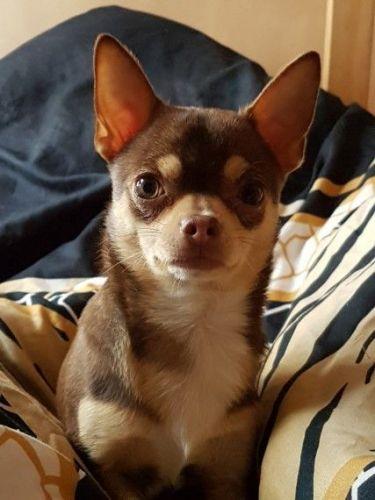 Chihuahua Puppies for sale in Southfield, MI, USA. price 230USD