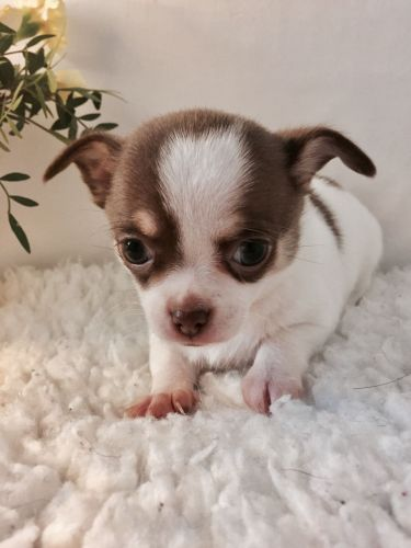 Chihuahua Puppies for sale in Detroit, MI, USA. price -USD
