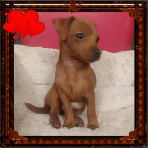 Dachshund Puppies for sale in Albany, OR, USA. price 500USD