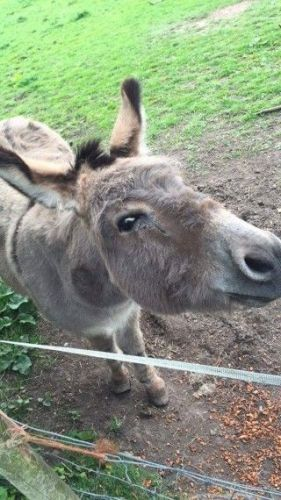 Donkey Horses for sale in Escondido, CA, USA. price 500USD