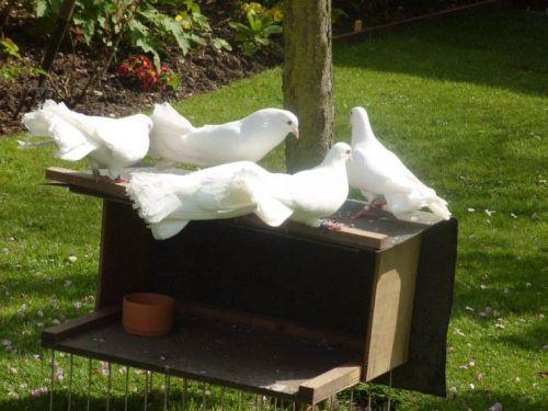 Dove Birds for sale in Nashville, TN, USA. price 100USD