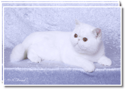 Exotic Shorthair Cats for sale in Salem, IN 47167, USA. price 900USD