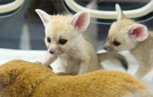 Fennec Fox Animals for sale in Floyd St, Houston, TX 77007, USA. price 550USD