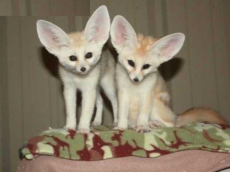 Fennec Fox Animals for sale in Los Angeles, CA, USA. price 800USD