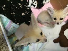 Fennec Fox Animals for sale in Los Angeles, CA, USA. price 815USD