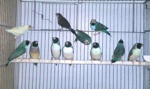 Finch Birds for sale in Miami, FL, USA. price 90USD