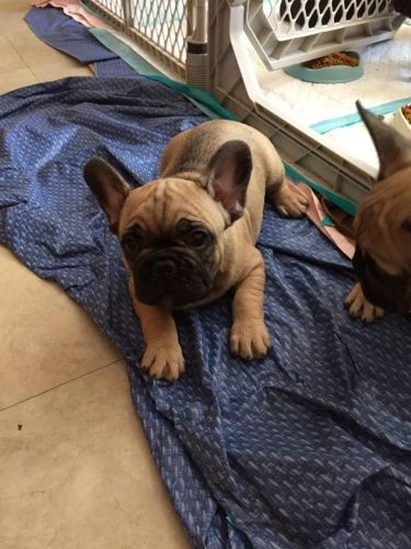 French Bulldog Puppies for sale in Winnetka, CA 91306, USA. price 2500USD