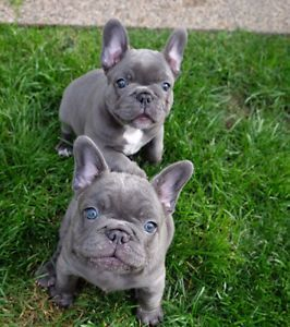 French Bulldog Puppies for sale in New York, NY, USA. price -USD