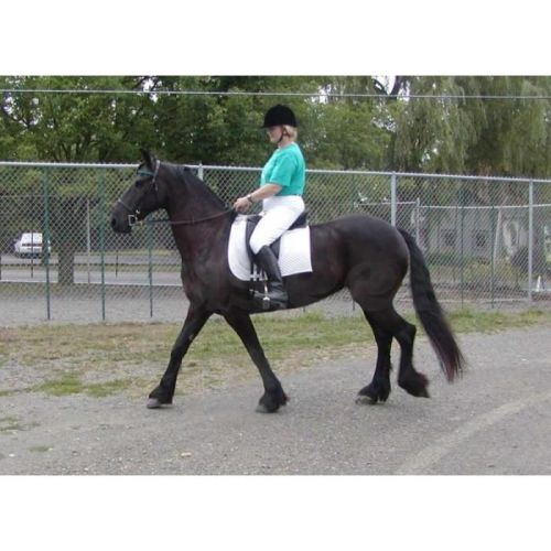 Friesian Horse Horses for sale in Arkansas County, AR, USA. price -USD