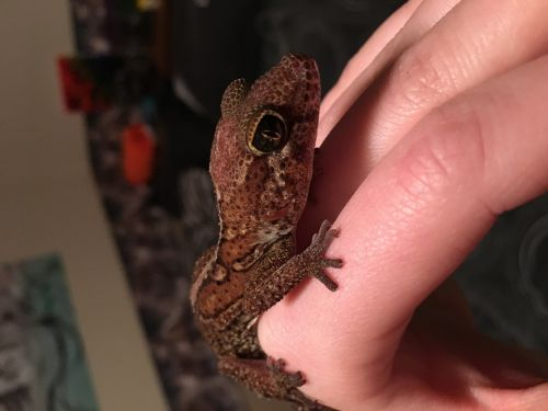 Gecko Reptiles for sale in Sartell, MN, USA. price 50USD