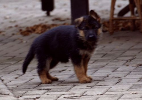 German Shepherd Puppies for sale in Miami, FL 33144, USA. price 1500USD