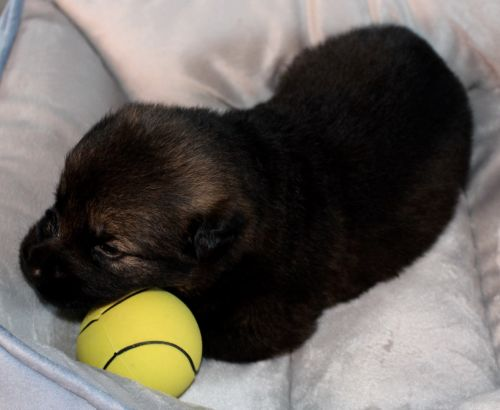 German Shepherd Puppies for sale in Albany, KY 42602, USA. price 2000USD