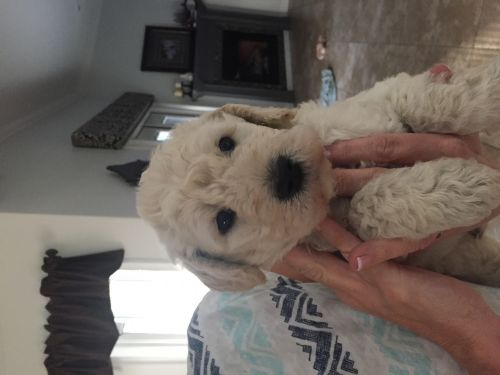 Golden Doodle Puppies for sale in Lake City, FL, USA. price 1100USD