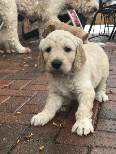 Golden Doodle Puppies for sale in Pueblo, CO 81001, USA. price 2000USD