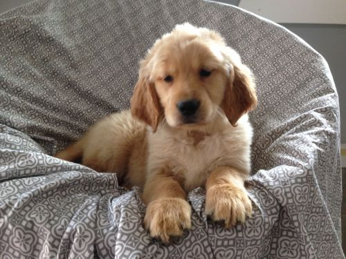 Golden Retriever Puppies for sale in Sugarcreek, OH 44681, USA. price 750USD