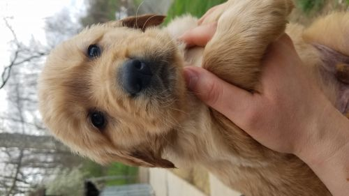 Golden Retriever Puppies for sale in Caldwell, OH 43724, USA. price 600USD