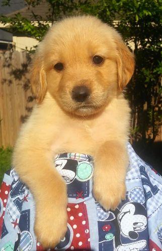 Golden Retriever Puppies for sale in Sugar Land, TX, USA. price 1050USD