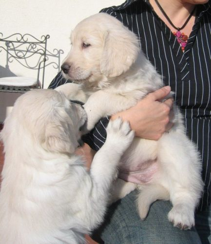 Golden Retriever Puppies for sale in Buffalo, NY 14201, USA. price 300USD