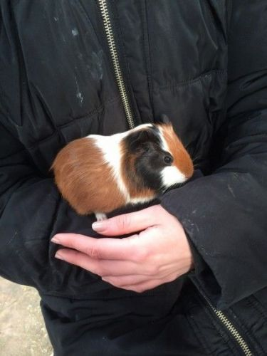 Guinea Pig Rodents for sale in Los Angeles, CA 90005, USA. price 75USD