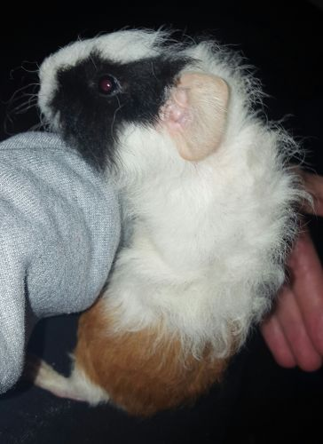 Guinea Pig Rodents for sale in Baldwinsville, NY 13027, USA. price 30USD