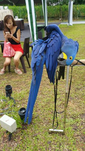 Hahn's macaw Birds for sale in Brooklyn, NY, USA. price -USD