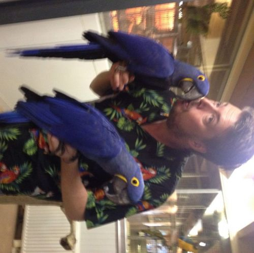 Hahn's macaw Birds for sale in Cincinnati, OH, USA. price 1900USD
