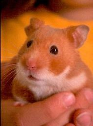Hamster Rodents for sale in MD-355, Bethesda, MD, USA. price 50USD
