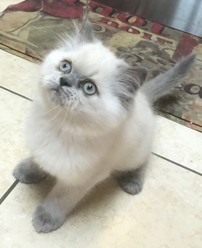 Himalayan Cats for sale in Hutto, TX 78634, USA. price 950USD