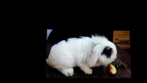 Holland Lop Rabbits for sale in Lynbrook, NY 11563, USA. price 40USD