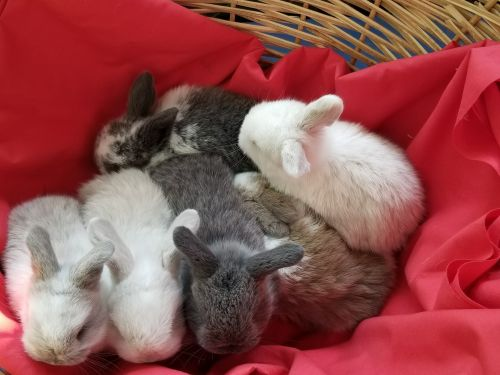 Holland Lop Rabbits for sale in Powder Springs, GA, USA. price 50USD
