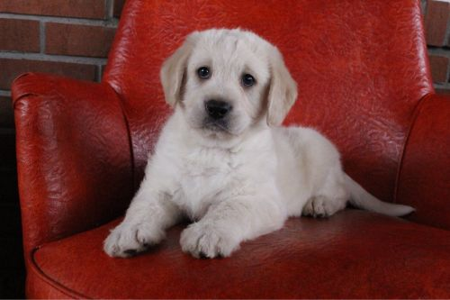 Labradoodle Puppies for sale in Canton, OH, USA. price 650USD