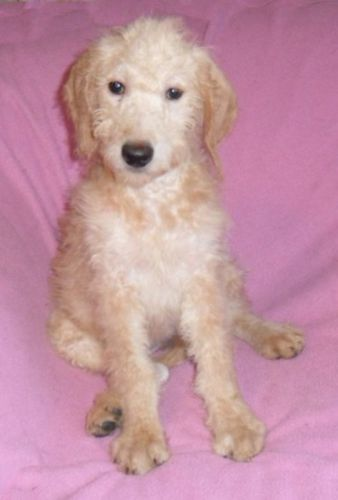 Labradoodle Puppies for sale in Canton, OH, USA. price 599USD