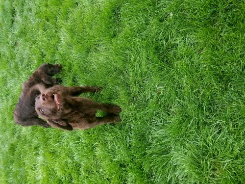 Labradoodle Puppies for sale in Chicago, IL, USA. price 350USD