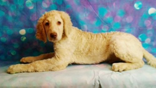 Labradoodle Puppies for sale in Canton, OH, USA. price 399USD