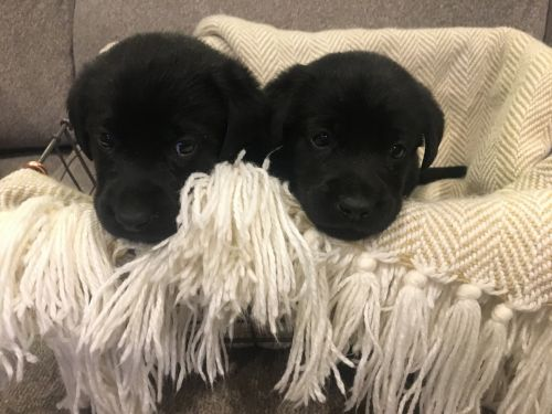 Labrador Retriever Puppies for sale in Arnold, MO, USA. price 600USD
