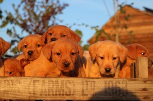 Labrador Retriever Puppies for sale in White Hall, AR 71602, USA. price 500USD