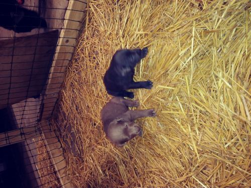 Labrador Retriever Puppies for sale in Norwood Young America, MN, USA. price 550USD