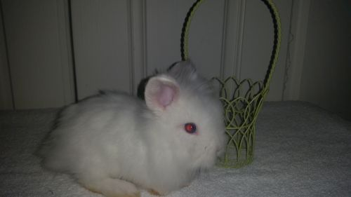 Lionhead rabbit Rabbits for sale in Palm Springs, CA, USA. price 100USD
