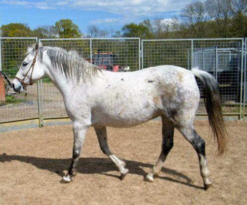 Lipizzan Horses for sale in California, MD, USA. price 2500USD