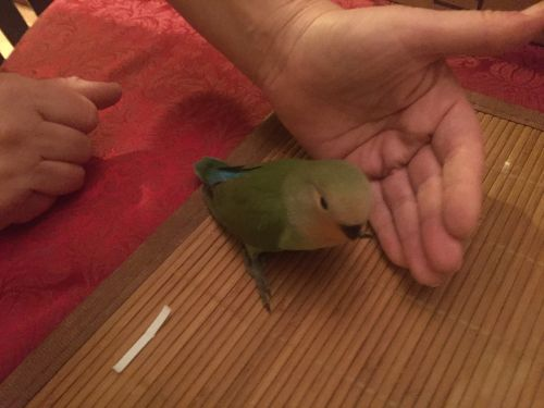 Lovebird Birds for sale in Queens, NY, USA. price 75USD