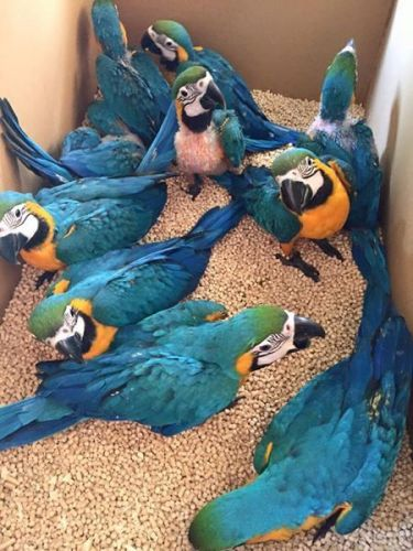 Macaw Birds for sale in New York Ave NW, Washington, DC, USA. price 350USD