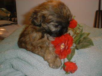 Mal-Shi Puppies for sale in Sacramento, CA, USA. price 450USD