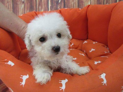 Maltipoo Puppies for sale in Orange County, CA, USA. price 799USD