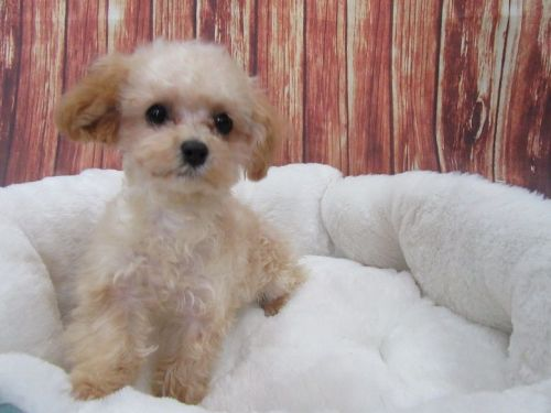 Maltipoo Puppies for sale in Orange County, CA, USA. price 950USD