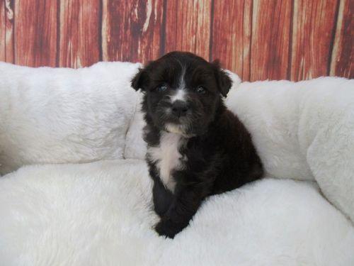 Maltipoo Puppies for sale in Orange County, CA, USA. price 950USD